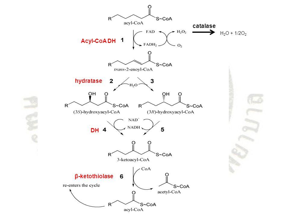 H 2 O + 1/2O 2 catalase Acyl-CoA DH hydratase DH β-ketothiolase
