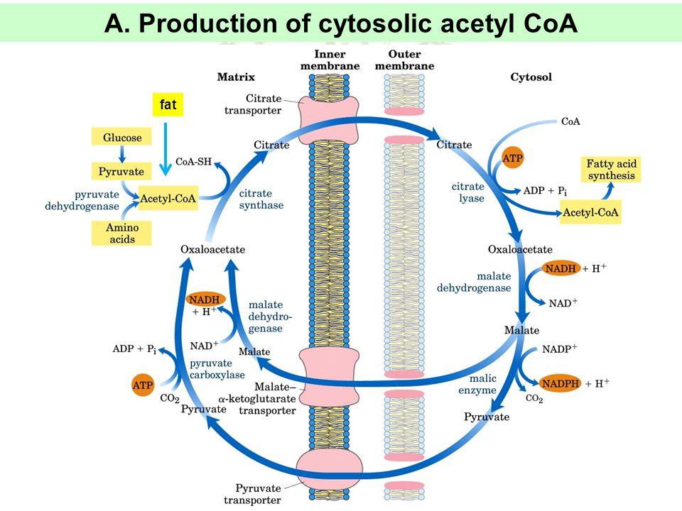 A. Production of cytosolic acetyl CoA fat