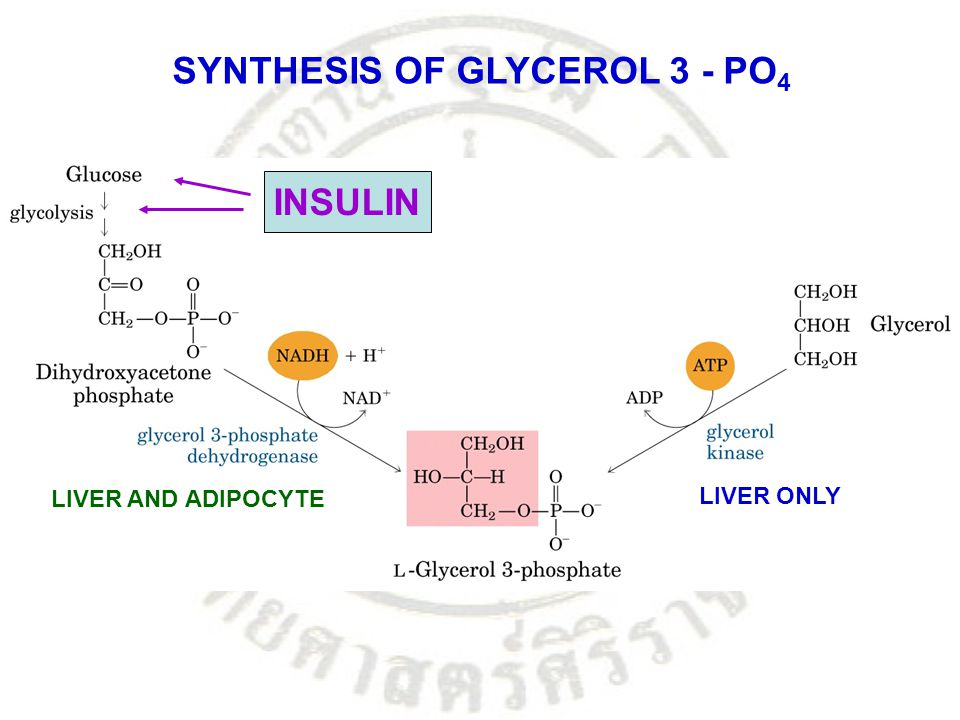 SYNTHESIS OF GLYCEROL 3 - PO 4 LIVER ONLY LIVER AND ADIPOCYTE INSULIN