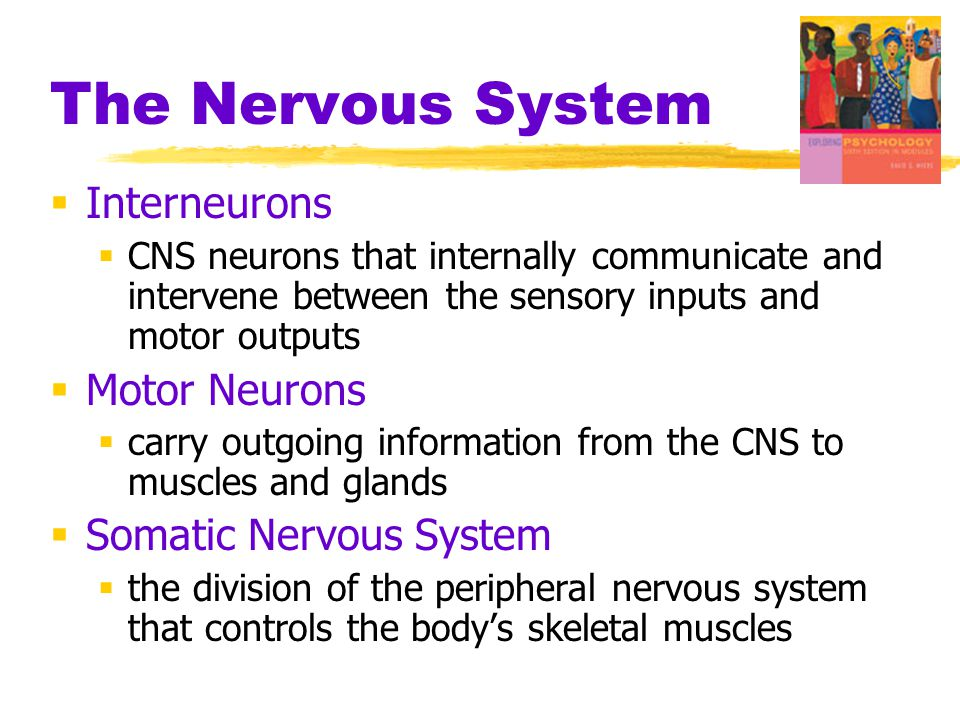 The Nervous System  Interneurons  CNS neurons that internally communicate and intervene between the sensory inputs and motor outputs  Motor Neurons