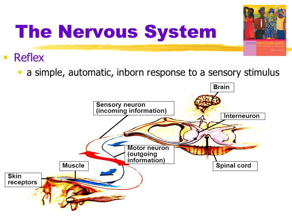  Reflex  a simple, automatic, inborn response to a sensory stimulus Skin receptors Muscle Sensory neuron (incoming information) Motor neuron (outgoi