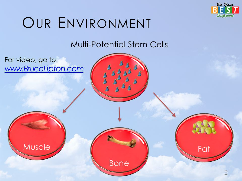O UR E NVIRONMENT Multi-Potential Stem Cells 2 Muscle Fat Bone