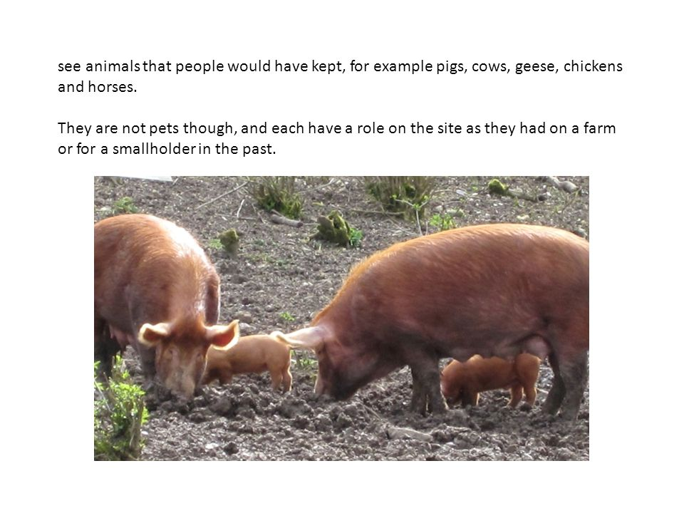 see animals that people would have kept, for example pigs, cows, geese, chickens and horses. They are not pets though, and each have a role on the sit