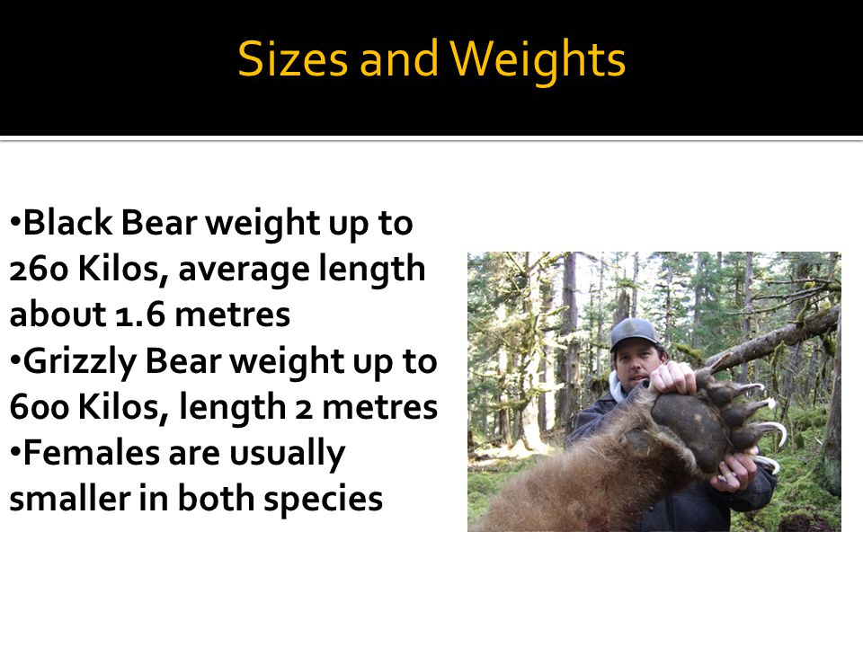 Sizes and Weights Black Bear weight up to 260 Kilos, average length about 1.6 metres Grizzly Bear weight up to 600 Kilos, length 2 metres Females are