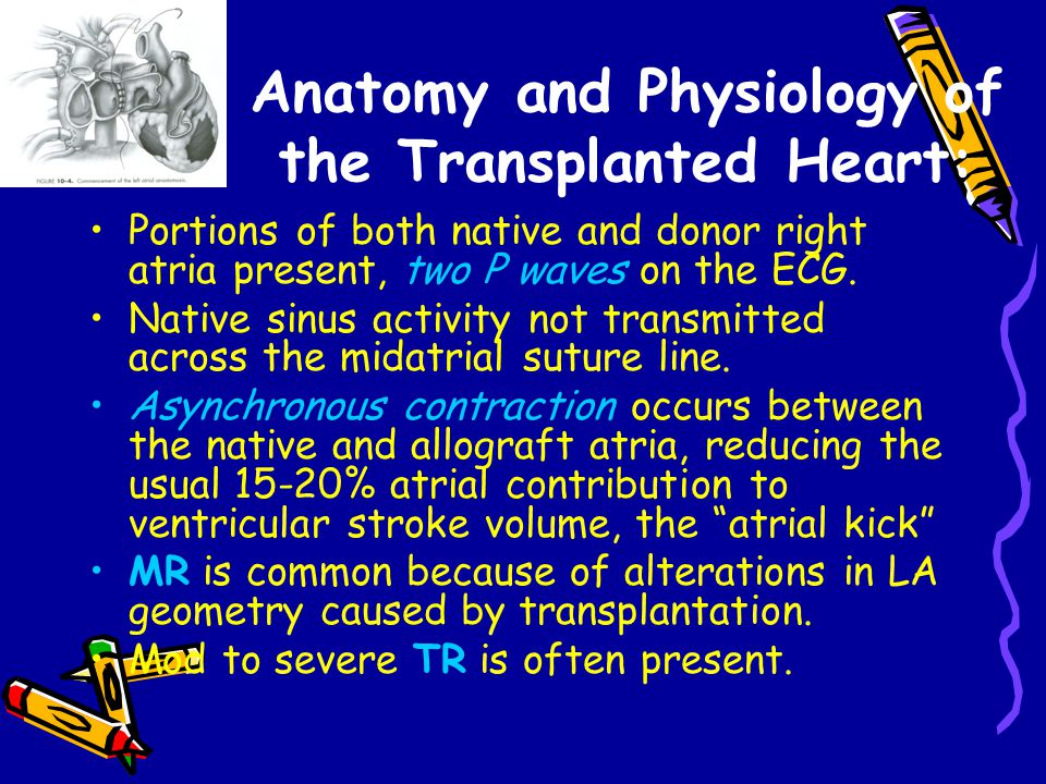 Anatomy and Physiology of the Transplanted Heart: Portions of both native and donor right atria present, two P waves on the ECG.