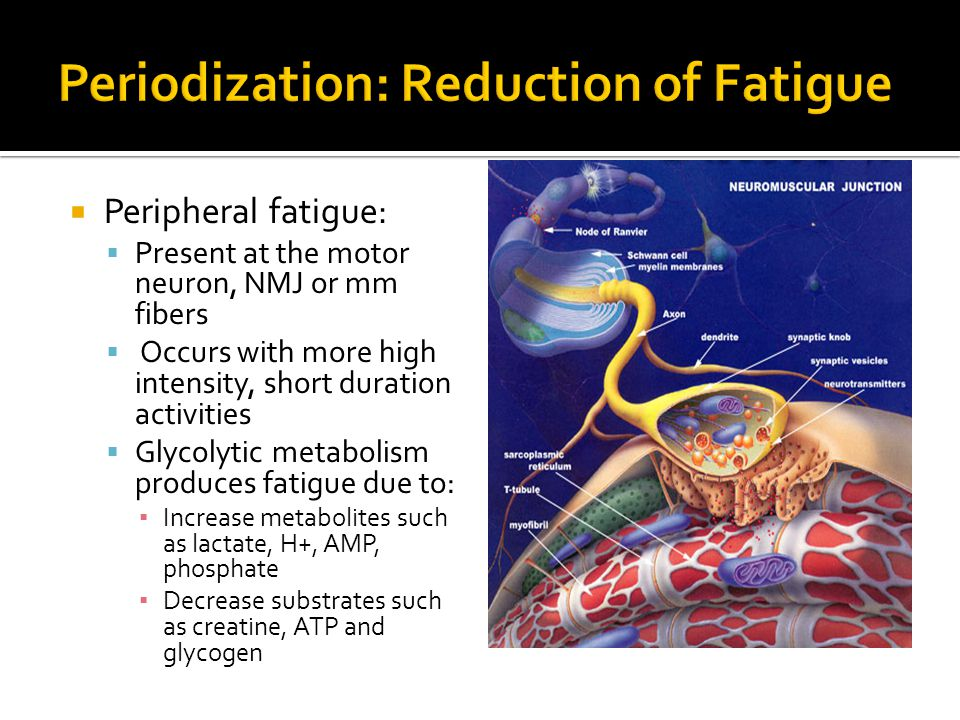  Peripheral fatigue:  Present at the motor neuron, NMJ or mm fibers  Occurs with more high intensity, short duration activities  Glycolytic metabolism produces fatigue due to: ▪ Increase metabolites such as lactate, H+, AMP, phosphate ▪ Decrease substrates such as creatine, ATP and glycogen