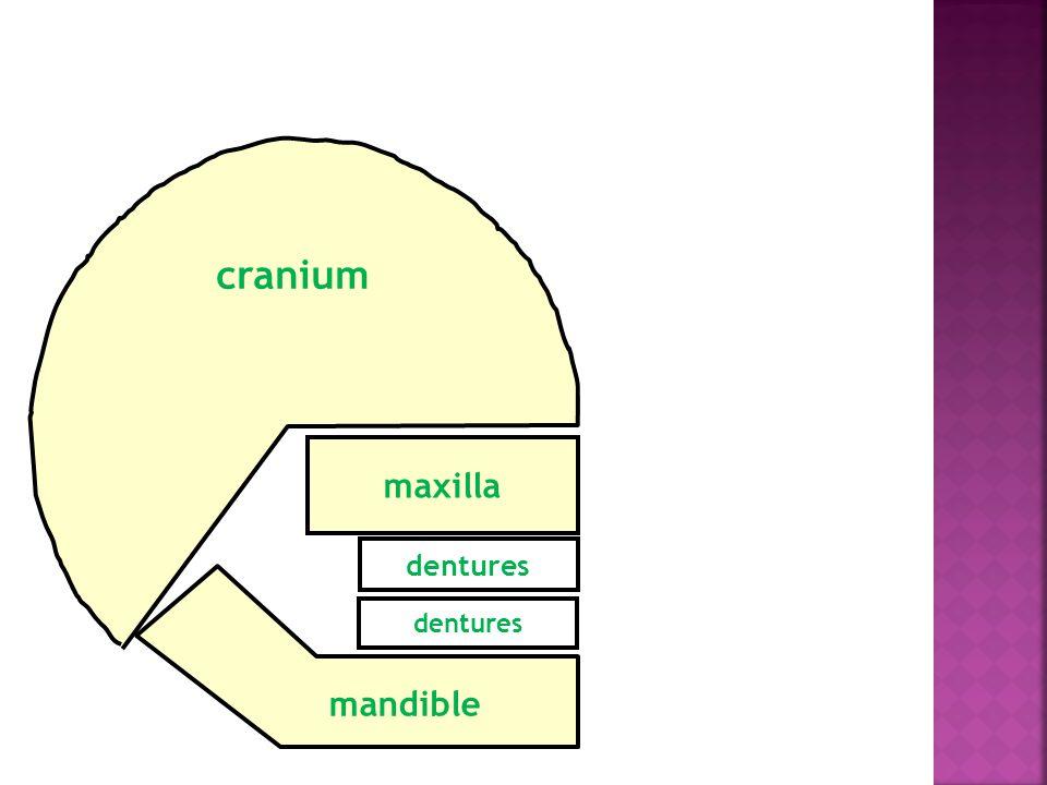 mandible maxilla dentures cranium