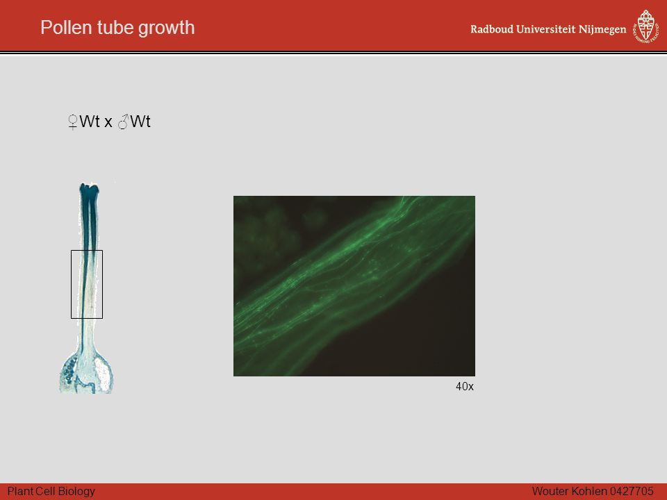 Plant Cell Biology Wouter Kohlen 0427705 Pollen tube growth 40x ♀Wt x ♂Wt