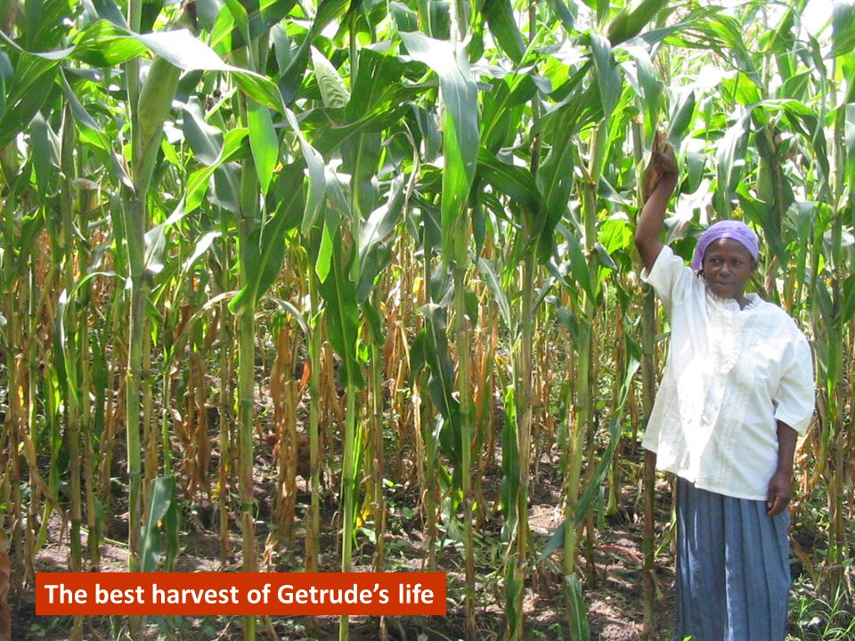 The tallest maize Getrude has ever seen The best harvest of Getrude's life
