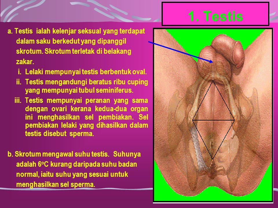 1. Testis a. Testis ialah kelenjar seksual yang terdapat dalam saku berkedut yang dipanggil skrotum. Skrotum terletak di belakang zakar. i.Lelaki memp