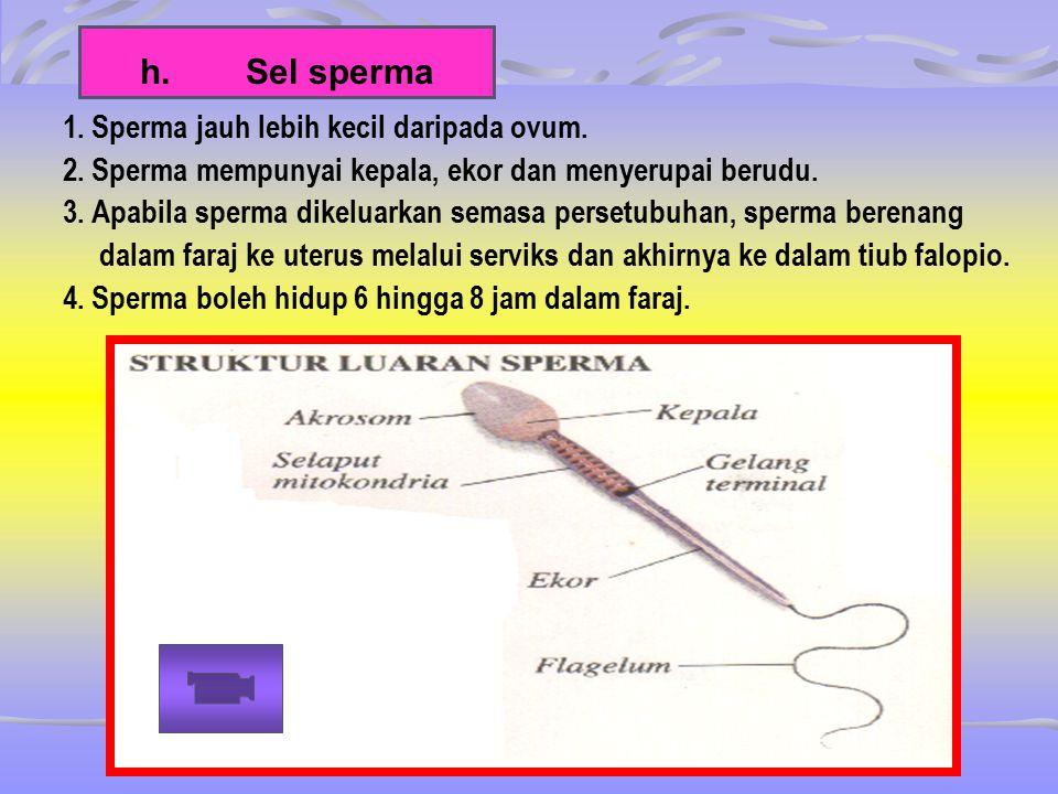 h.Sel sperma 1. Sperma jauh lebih kecil daripada ovum. 2. Sperma mempunyai kepala, ekor dan menyerupai berudu. 3. Apabila sperma dikeluarkan semasa pe