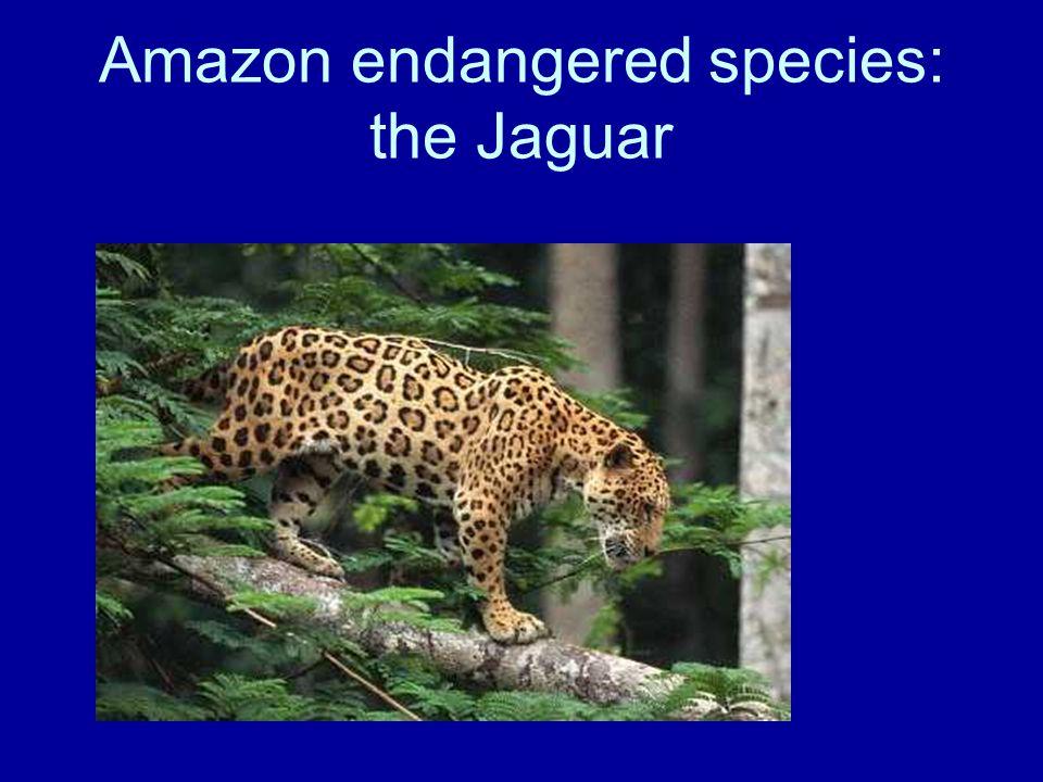 Amazon endangered species: the Jaguar