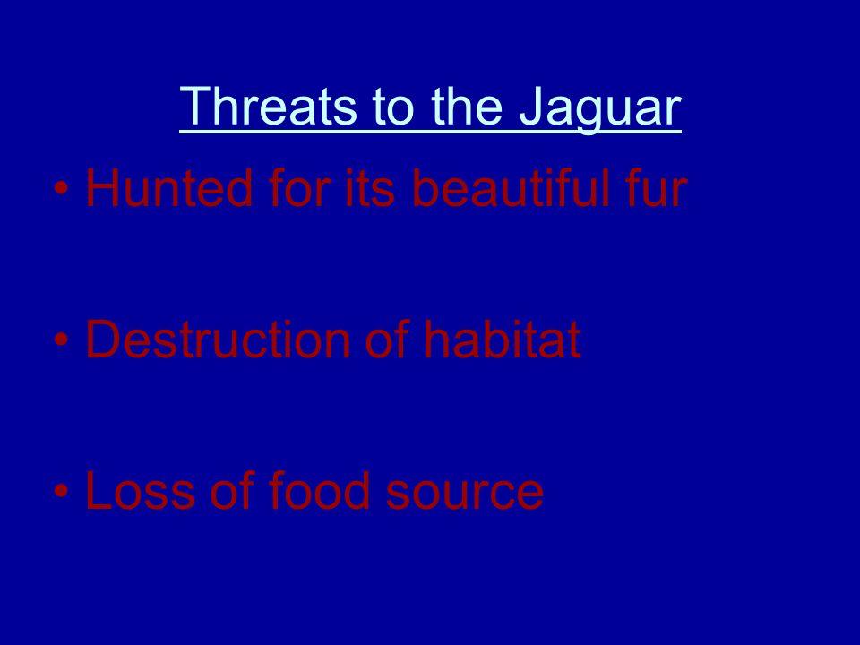 Threats to the Jaguar Hunted for its beautiful fur Destruction of habitat Loss of food source