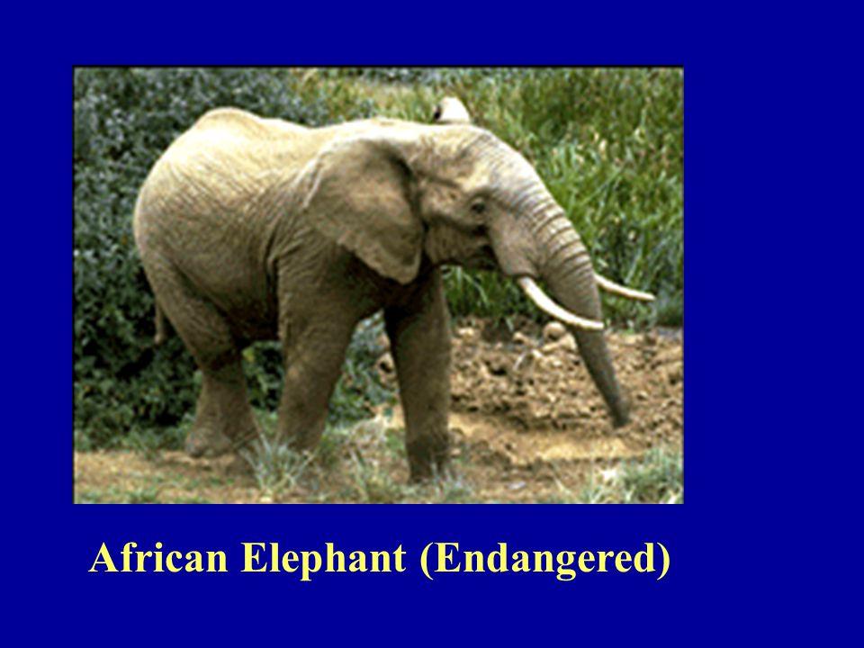 African Elephant (Endangered)