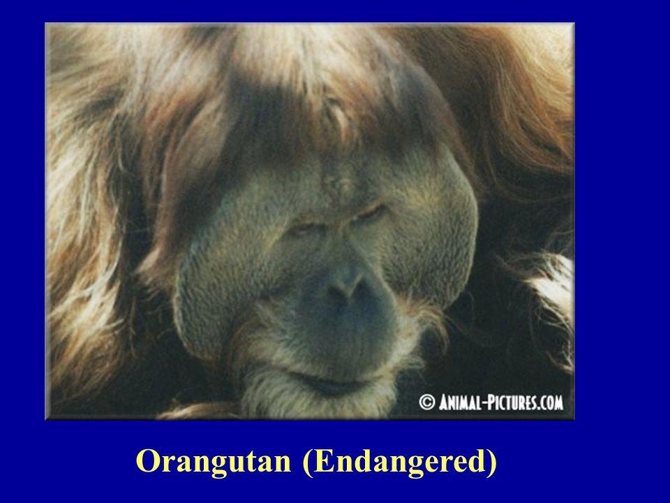 Orangutan (Endangered)