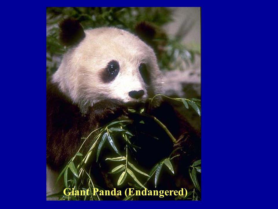 Giant Panda (Endangered)