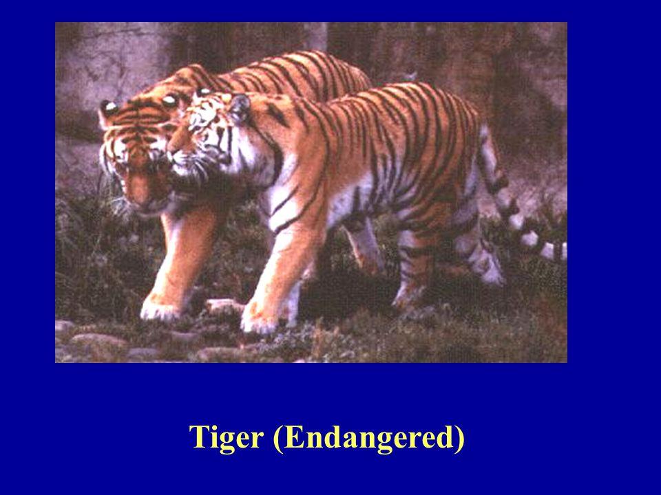 Tiger (Endangered)
