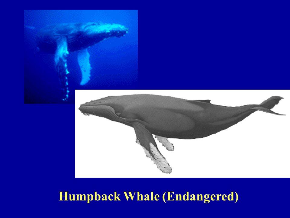 Humpback Whale (Endangered)