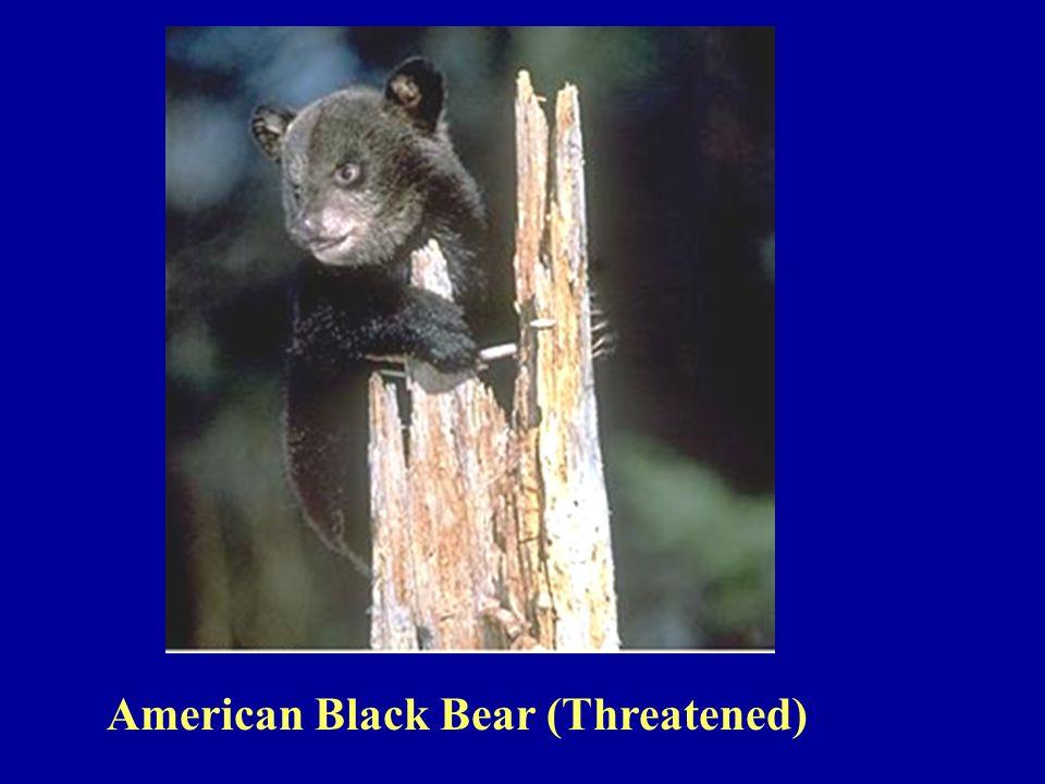 American Black Bear (Threatened)