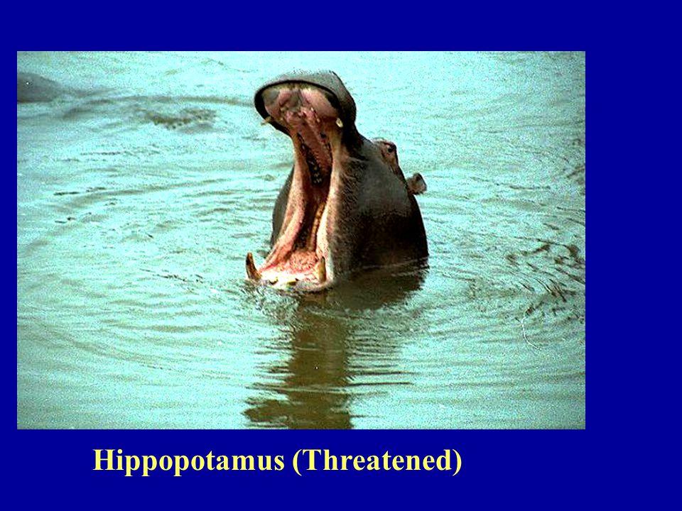Hippopotamus (Threatened)
