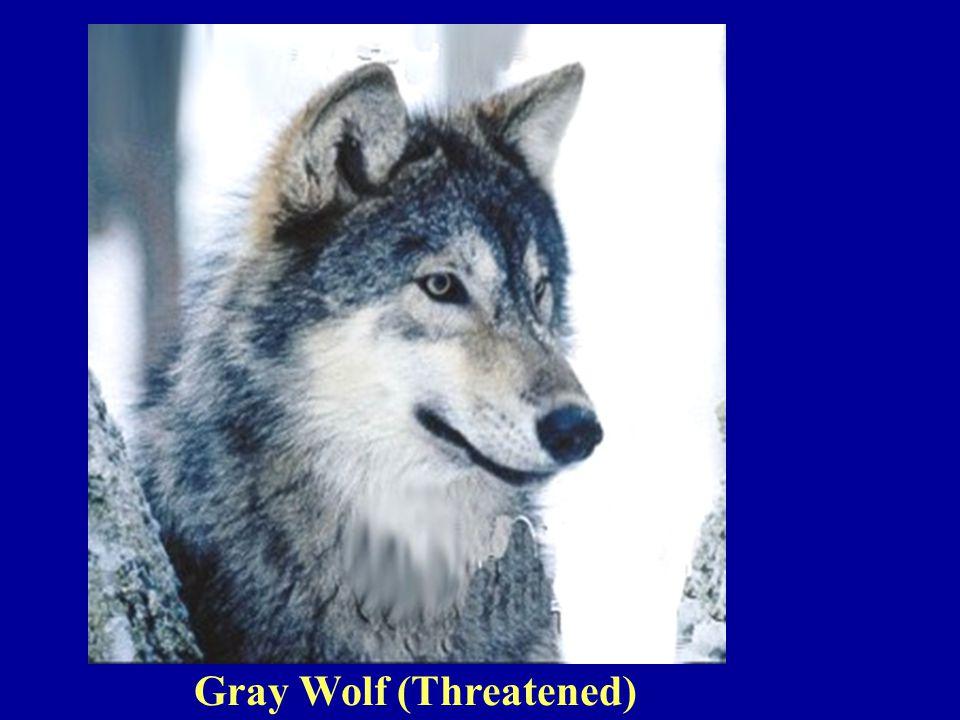 Gray Wolf (Threatened)