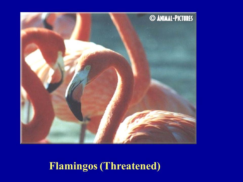 Flamingos (Threatened)