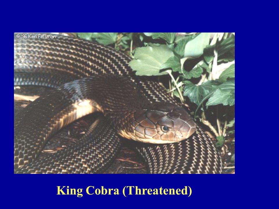 King Cobra (Threatened)