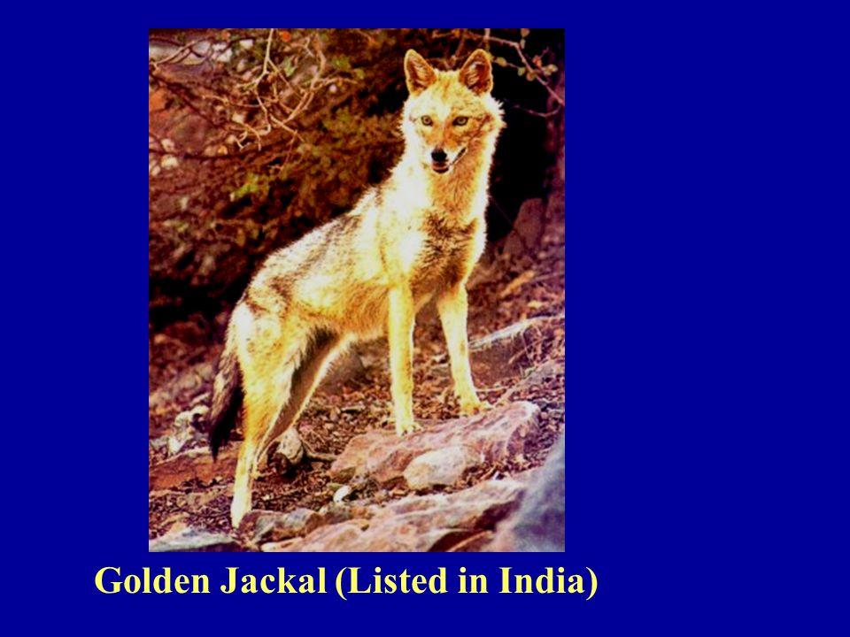 Golden Jackal (Listed in India)