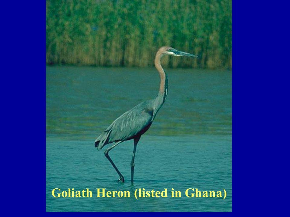 Goliath Heron (listed in Ghana)