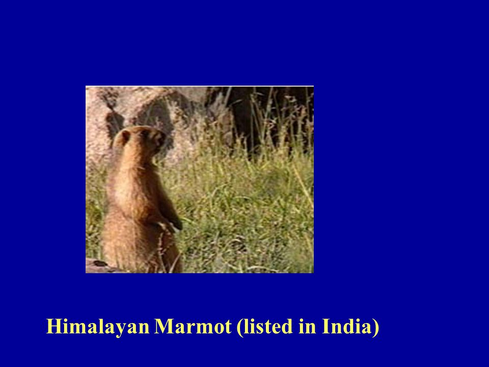 Himalayan Marmot (listed in India)