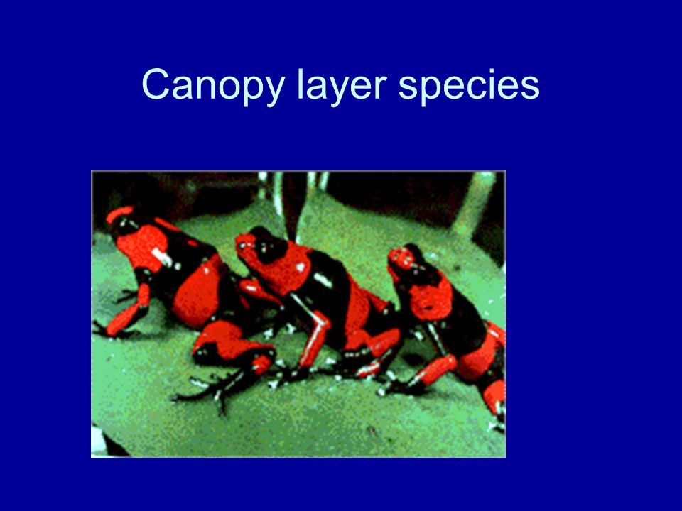 Canopy layer species