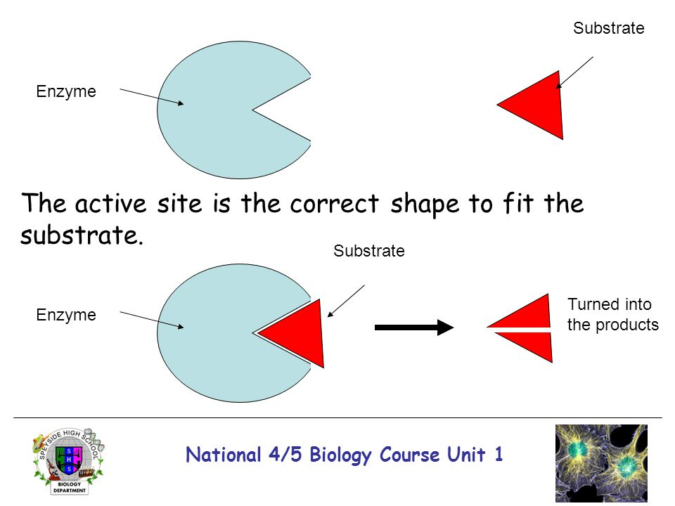 National 4/5 Biology Course Unit 1 Enzyme The active site is the correct shape to fit the substrate. Substrate Enzyme Substrate Turned into the produc