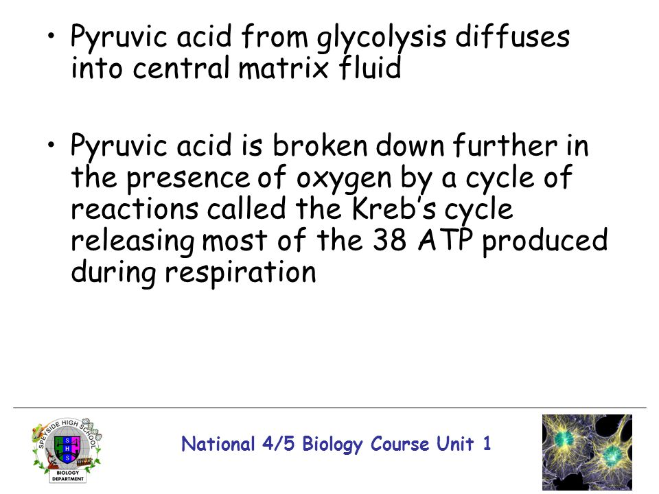National 4/5 Biology Course Unit 1 Pyruvic acid from glycolysis diffuses into central matrix fluid Pyruvic acid is broken down further in the presence