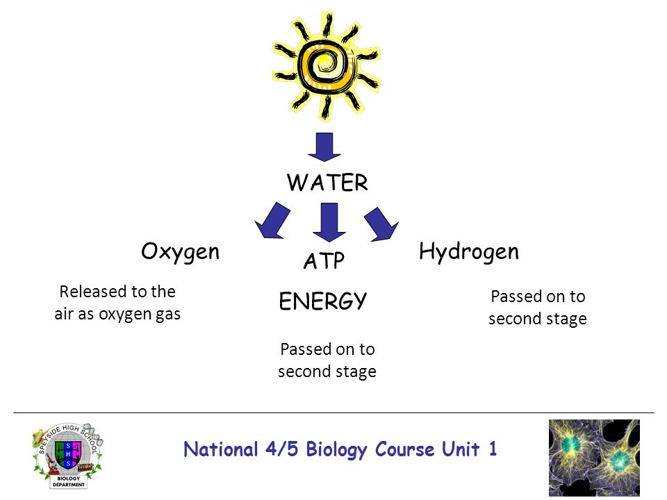 National 4/5 Biology Course Unit 1 WATER ATP ENERGY OxygenHydrogen Passed on to second stage Released to the air as oxygen gas