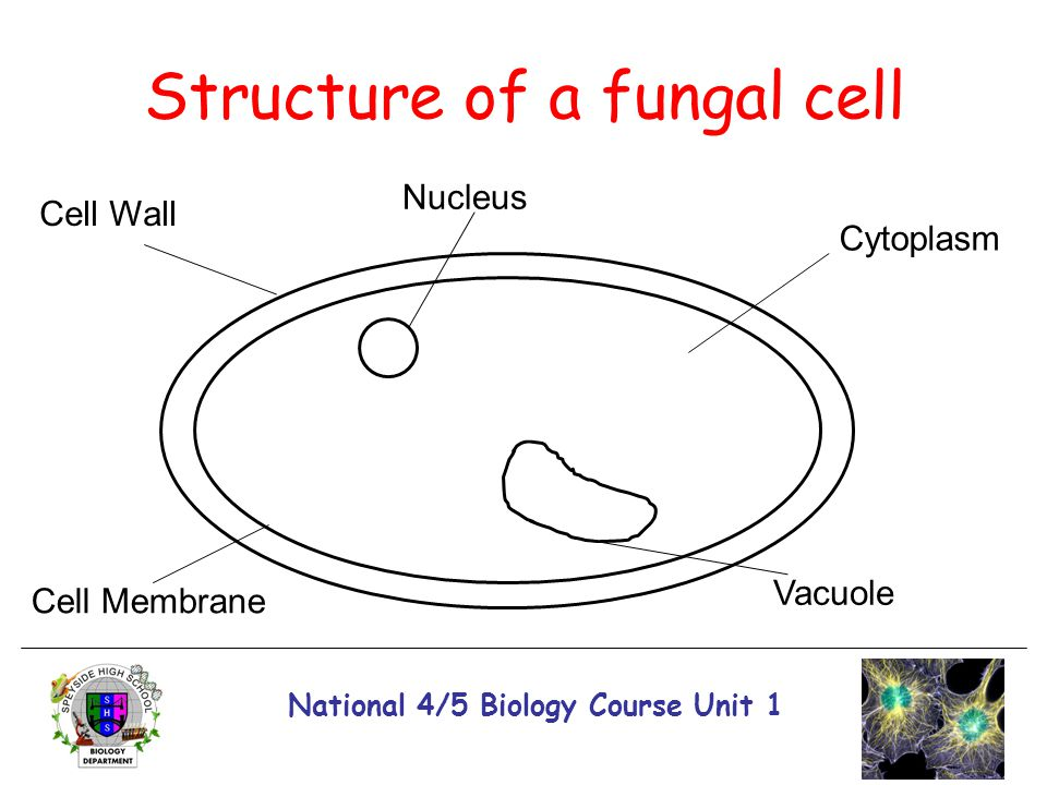 National 4/5 Biology Course Unit 1 Structure of a fungal cell Cell Wall Cell Membrane Vacuole Cytoplasm Nucleus