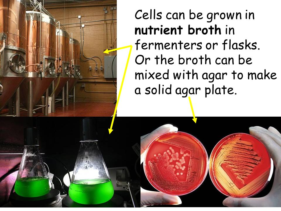 National 4/5 Biology Course Unit 1 Cells can be grown in nutrient broth in fermenters or flasks. Or the broth can be mixed with agar to make a solid a