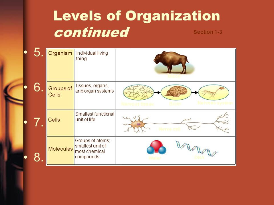 Organism Groups of Cells Molecules Individual living thing Tissues, organs, and organ systems Smallest functional unit of life Groups of atoms; smalle