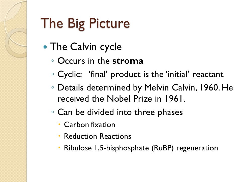 The Big Picture The Calvin cycle ◦ Occurs in the stroma ◦ Cyclic: 'final' product is the 'initial' reactant ◦ Details determined by Melvin Calvin, 196