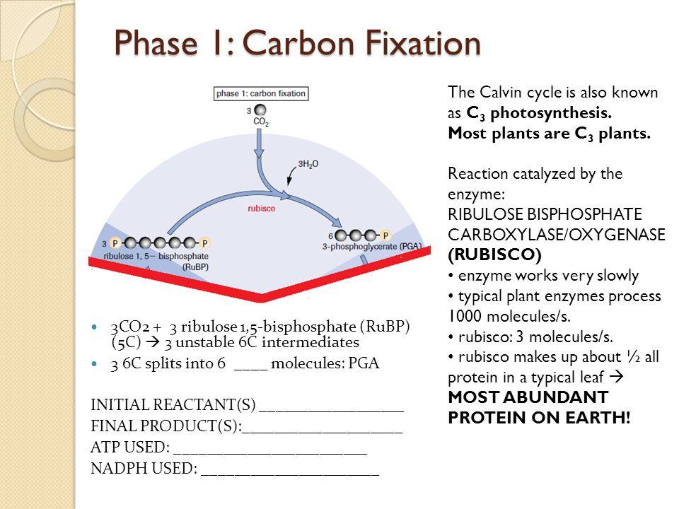 Phase 1: Carbon Fixation 3CO2 + 3 ribulose 1,5-bisphosphate (RuBP) (5C)  3 unstable 6C intermediates 3 6C splits into 6 ____ molecules: PGA INITIAL R