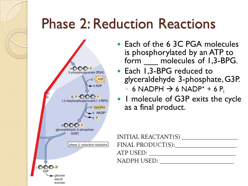 Phase 2: Reduction Reactions Each of the 6 3C PGA molecules is phosphorylated by an ATP to form ___ molecules of 1,3-BPG. Each 1,3-BPG reduced to glyc