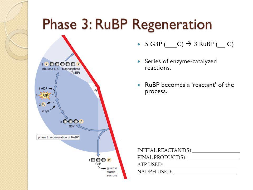 Phase 3: RuBP Regeneration 5 G3P (___C)  3 RuBP (__ C) Series of enzyme-catalyzed reactions. RuBP becomes a 'reactant' of the process. INITIAL REACTA