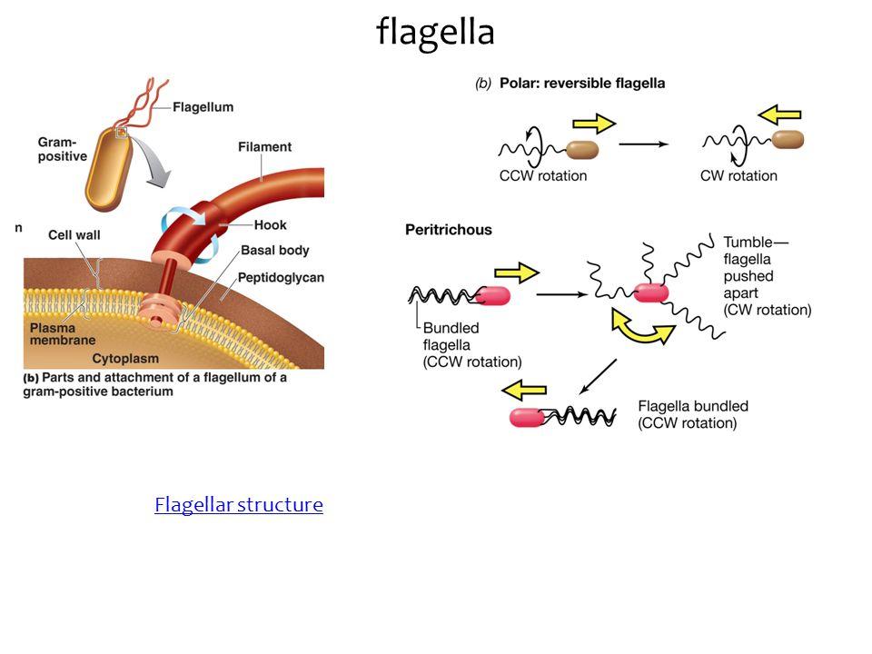 flagella Flagellar structure