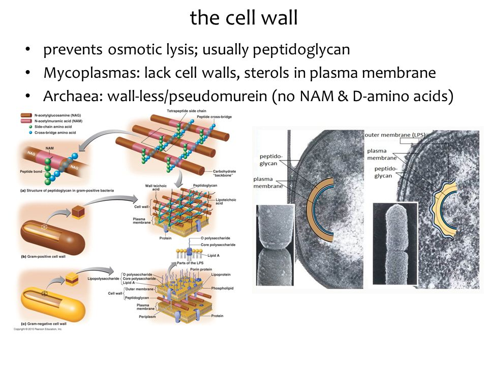 prevents osmotic lysis; usually peptidoglycan Mycoplasmas: lack cell walls, sterols in plasma membrane Archaea: wall-less/pseudomurein (no NAM & D-amino acids) the cell wall