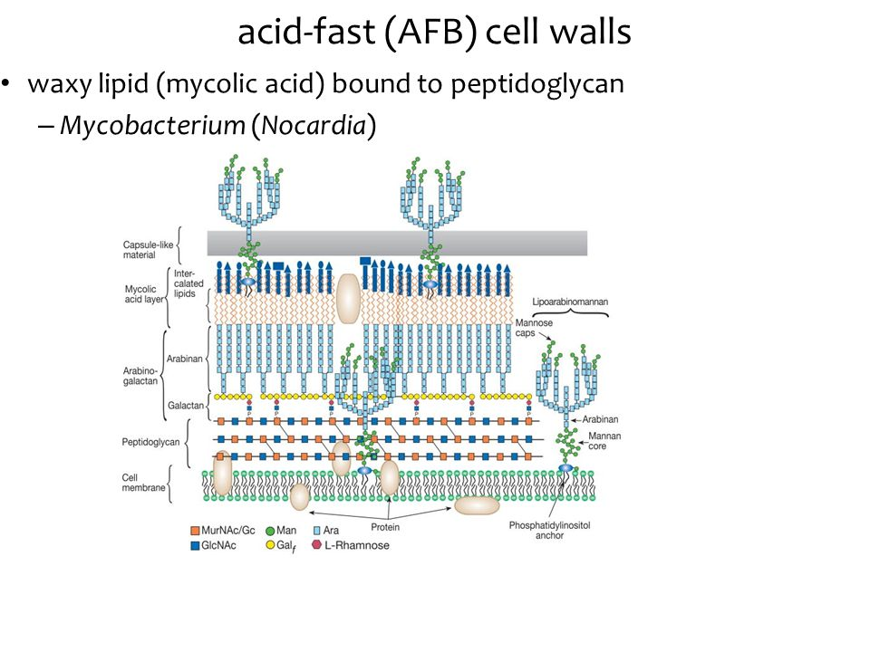 acid-fast (AFB) cell walls waxy lipid (mycolic acid) bound to peptidoglycan – Mycobacterium (Nocardia)