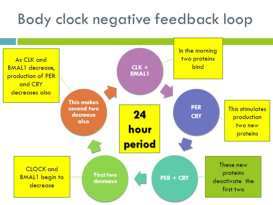 Body clock negative feedback loop CLK + BMAL1 PER CRY PER + CRY First two decrease This makes second two decrease also In the morning two proteins bin