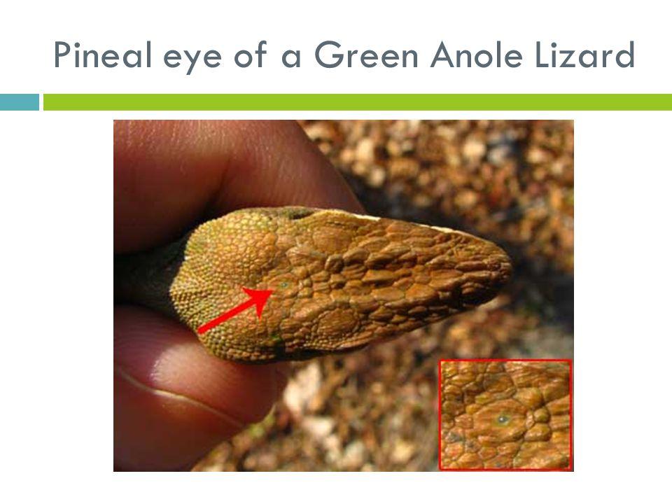 Pineal eye of a Green Anole Lizard
