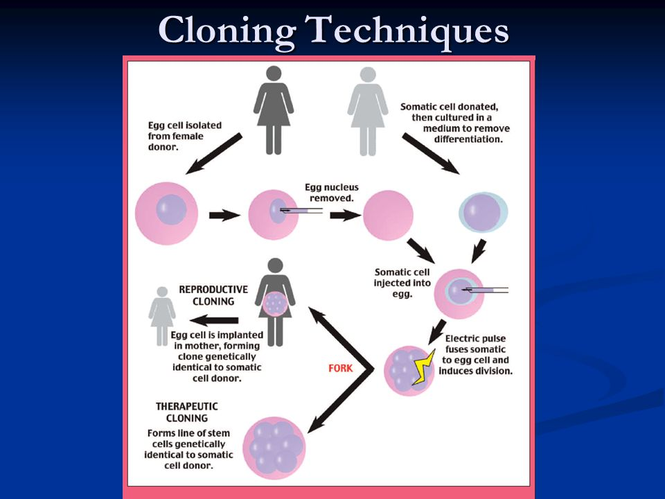 """Cloning  Clone: a living thing genetically identical to another living thing. Identical twins are sometimes called """"nature's clones"""".  Somatic Cell"""