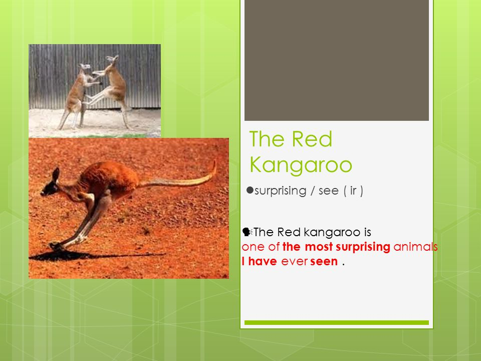 The Red Kangaroo surprising / see ( ir ) The Red kangaroo is one of the most surprising animals I have ever seen.