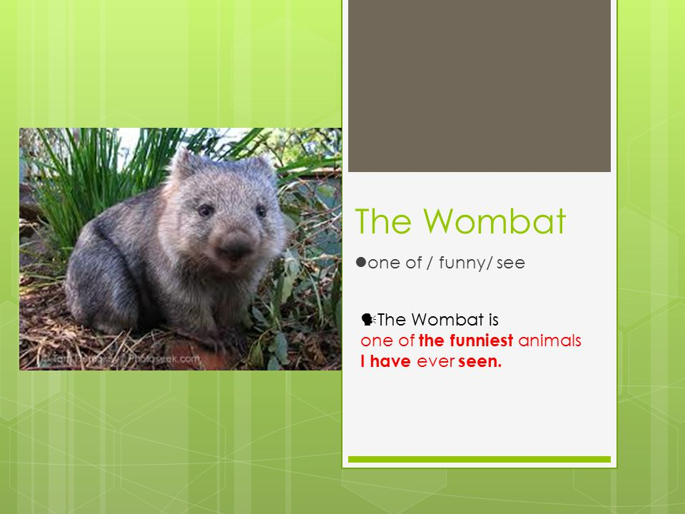 The Wombat one of / funny/ see The Wombat is one of the funniest animals I have ever seen.