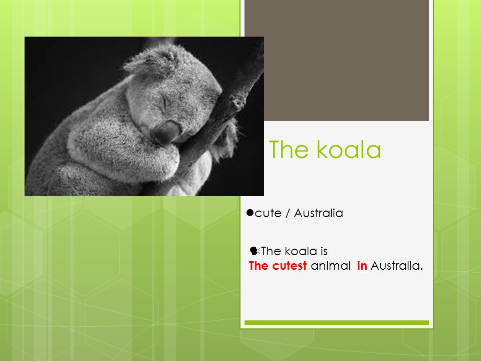 The koala cute / Australia The koala is The cutest animal in Australia.
